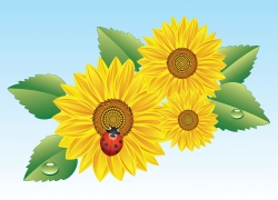 向日葵上的七星瓢虫