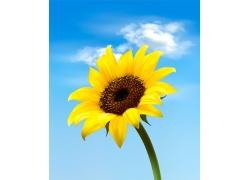 蓝天白云与向日葵