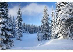 冬天雪松风景图片