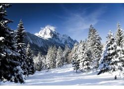 天山雪松风景图片