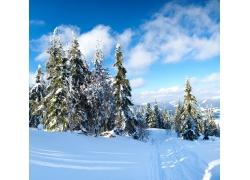 冬天雪景雪松图片
