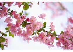 一支粉红樱花特写图片