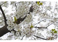 绽放的白色樱花图片