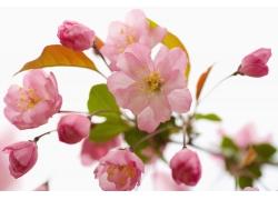 开放的粉红色樱花