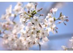 绽放樱花花枝