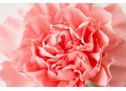 粉白色的康乃馨花朵特写图片