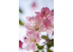 粉色樱花特写