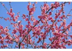 蓝天下的桃花枝