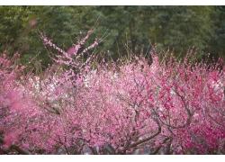 桃花绽放的桃树林