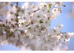 树枝上开放的白樱花