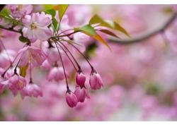 粉色樱花花苞