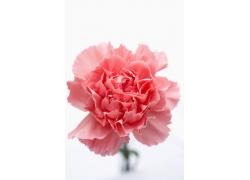 粉白色的康乃馨花朵图片