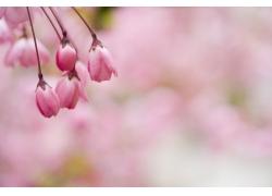粉红色樱花花苞特写图片