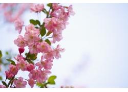 盛放着粉红樱花的花枝特写图片