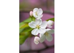 粉白色樱花特写图片