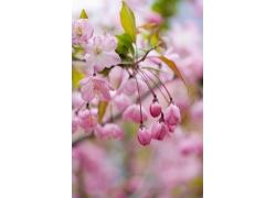 粉色樱花花苞特写图片