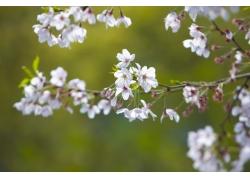 绽放的樱花花枝