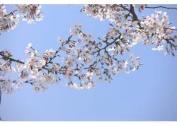 蓝天下的樱花树枝