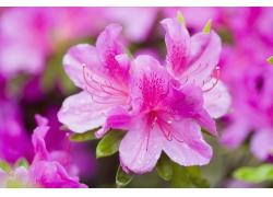 紫红色杜鹃花高清图片
