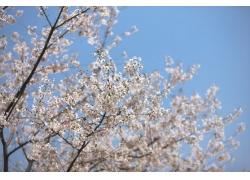 蓝天下的樱花树花枝图片