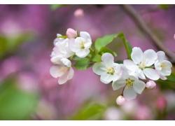 怒放的白色樱花特写图片