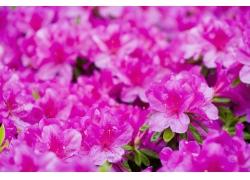 紫红色杜鹃花图片素材