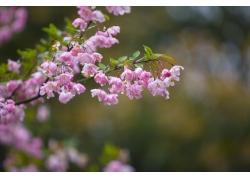 雨后的樱花花枝