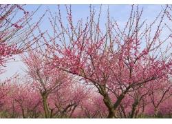桃花怒放的桃树林