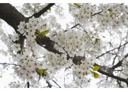 盛开的白色樱花