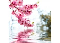 盛开桃花水中倒影