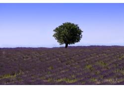 蓝天绿树下的蓝紫色薰衣草花田图片