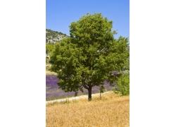 薰衣草花田旁边的树图片