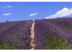 蓝天下的蓝紫色薰衣草花海图片