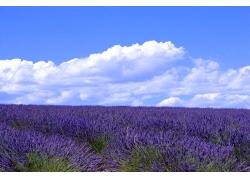 蓝天下的紫蓝色花海图片