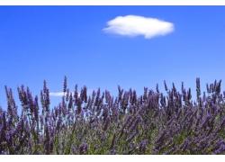 蓝天白云下的薰衣草花田图片