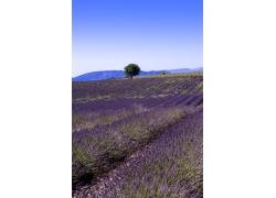 蓝紫色薰衣草的花海图片