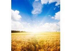 蓝天白云下的金色麦田图片