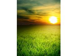 晚霞中的绿色麦田图片