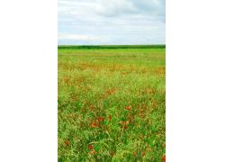 红色花朵的花田图片