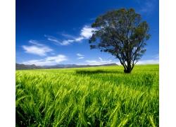绿色麦田自然风光图片