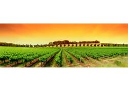 霞光满天的葡萄园超宽幅风景图片