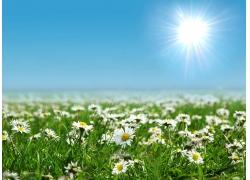 蓝天下的雏菊花海图片