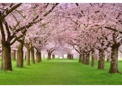 美丽樱花风景图片