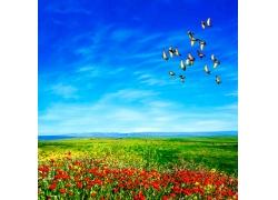 罂粟花与飞鸟图片素材