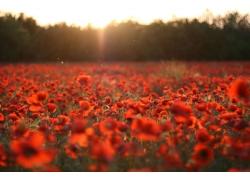 罂粟花风景高清图片