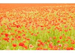 罂粟花风景图片素材