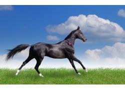 草原上奔跑的黑色骏马
