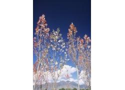 蓝天白云与树木风光图片