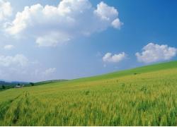 蓝天下绿油油的麦田高清图片