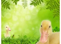 草地上的可爱小鸭子